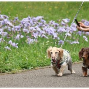 菖蒲と紫陽花☆