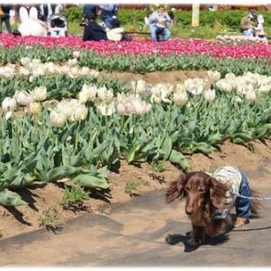 春爛漫☆色鮮やかなチューリップ♪