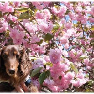 天平の丘公園で八重桜と♪