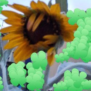 希望の向日葵