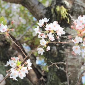 今年の桜・・・「最近、思い感じること」