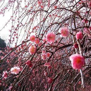 2月18日 梅の季節