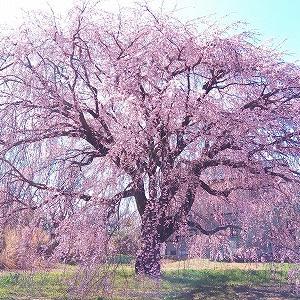 3月25日 8と桜