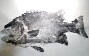 ★口白(イシガキダイ)の修正・修復魚拓制作1