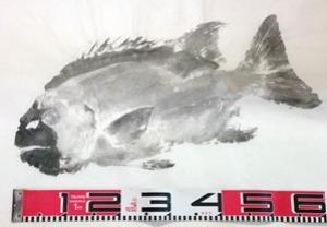 ★石鯛の修正・修復魚拓制作1
