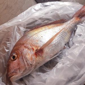 ◆真鯛の装飾用彩色アート魚拓♪
