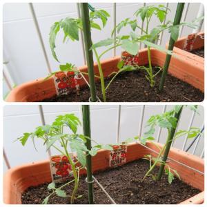 ゴールデンウィークにトマト苗を植え付けた