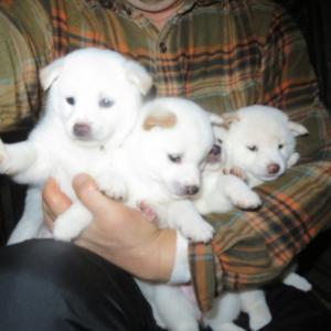 白い恋犬たちΣ(゚Д゚)
