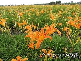 クワン草の花摘