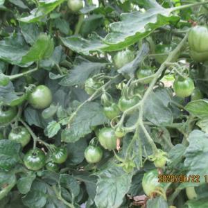 種からトマト