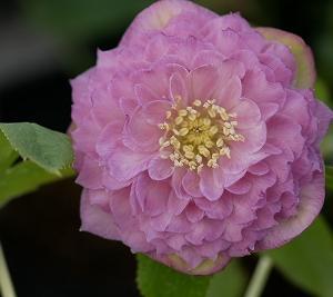 数少ない多弁花