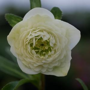 野田園芸さんの超多弁花ホワイト