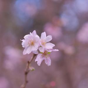第57候 水仙の花咲く