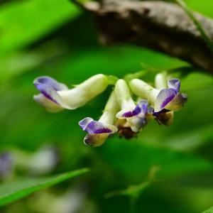 第50候 菊の花咲く
