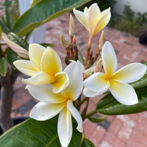 おうちでZUMBAとウクレレ♡庭に咲いたプルメリア