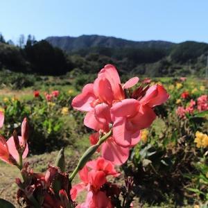 グラジオラスとコスモスの花(撮影:10月9日)