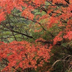 矢ノ川峠の紅葉風景(その2)(撮影:11月27日)