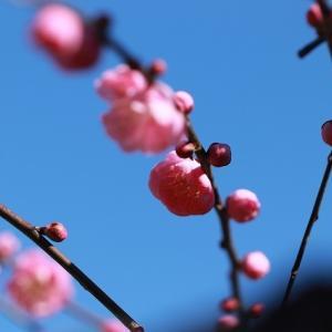 我が家のしだれ梅開花