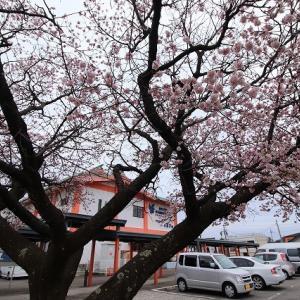 咲き誇る緋寒桜(ヒカンザク)(撮影:1月25日)