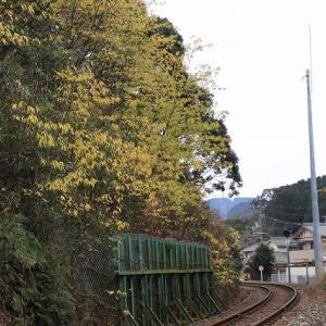 黄色く染まったアオモジの木(撮影:1月4日)