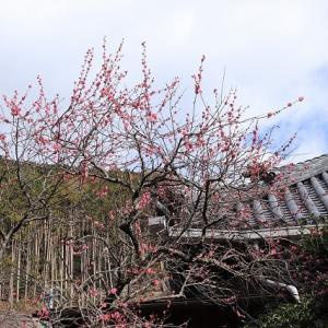 長楽寺の紅梅満開(その1)(撮影:1月31日)