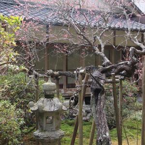 長楽寺の紅梅満開(その2)(撮影:1月31日)