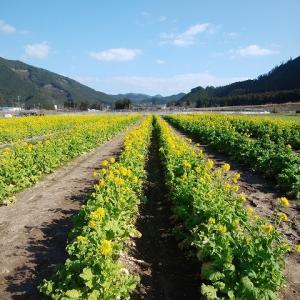 黄色く染まった菜の花畑(撮影:2月2日)