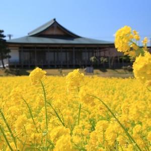 斎宮跡の菜の花景観見事(その1)(撮影:3月20日)