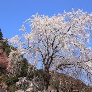 本乗寺しだれ桜満開(撮影:3月25日)