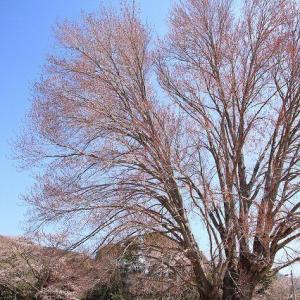 飯南高校のハナノキ (撮影:3月26日)