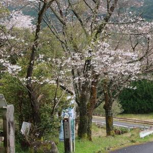 八鬼山道の山桜満開(撮影:3月28日)