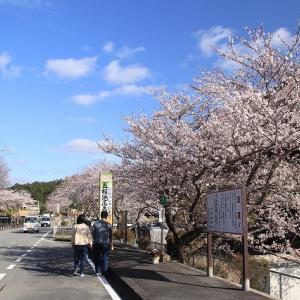 春の五桂池ほとり(撮影:3月29日)