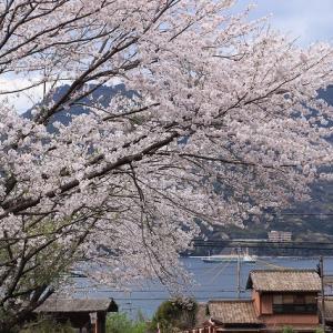 大曾根地区で桜満開(撮影:4月2日)