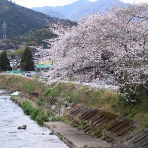 光ヶ丘の桜満開(撮影:4月2日)