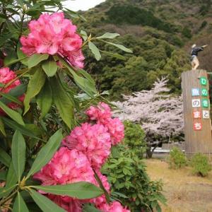 シャクナゲ開花(撮影:4月3日)