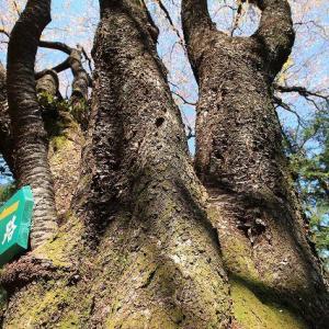 城跡に巨木の山桜(撮影:4月5日)