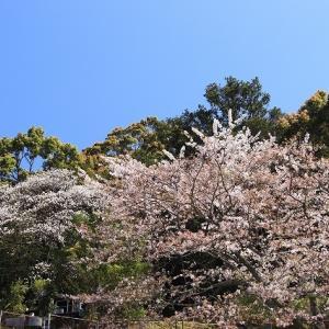 咲き誇る桜風景(曽根町・賀田町)(撮影:4月5日)