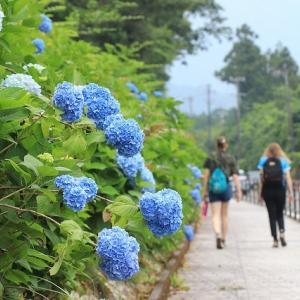 アジサイの花 競演(撮影:6月6日)
