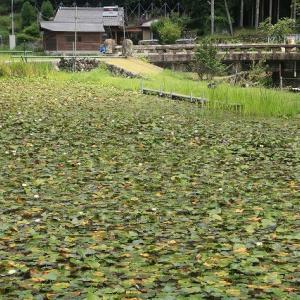小又のスイレン池散策(撮影:7月16日)