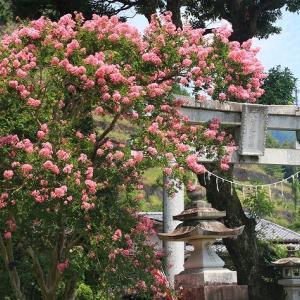 咲き誇る百日紅(八重垣神社)(撮影:8月5日)