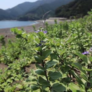 船越海岸ハマゴウの花(撮影:8月5日)
