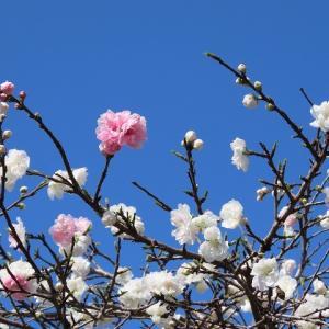 玄工山桜一巡散歩(その1)(撮影:3月24日)