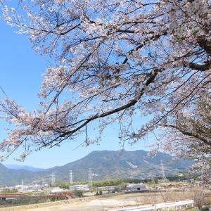 玄工山の桜一巡散歩(その3)(撮影:3月24日)