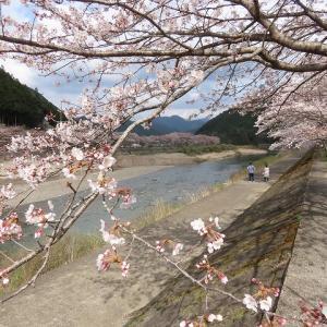 長野河川敷のさくら(撮影:3月27日)