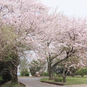 墓地公園の桜満開