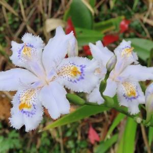 シャガの花と出会う(撮影:3月30日)