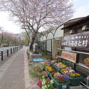五桂池ふるさと村のさくら風景(撮影:4月1日)