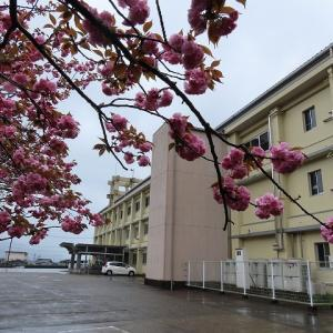 東紀州くろしお学園おわせ分校のボタン桜満開(撮影:4月3日)