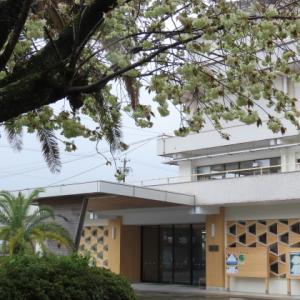 市役所前のウコン桜満開(撮影:4月3日)