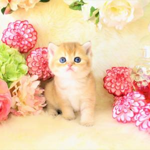 お花の妖精 ブリティッシュゴールデン写真